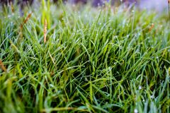 Vele uiterst kleine dauwdalingen op grasbladen in de de zomerochtend royalty-vrije stock foto