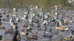 Vele van wilde eendeenden en Canada ganzen die na voedsel in een vijver achtervolgen stock footage