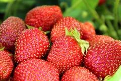 Vele verse aardbeien. stock foto's