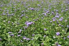 Vele violette bloemen van Ageratum-houstonianum stock foto