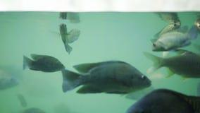 Vele vissen zwemmen in water stock video