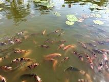 Vele vissenkarper in lotusbloemvijver Royalty-vrije Stock Fotografie