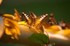 Vele vlinders Royalty-vrije Stock Foto