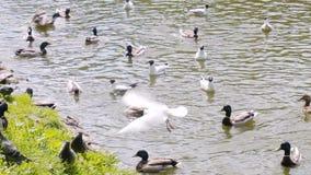 Vele vogels in de stadsvijver in het Park Meeuwen, eenden en duiven De vogels zwemmen zeer dicht aan de kust en zijn niet bang va stock footage