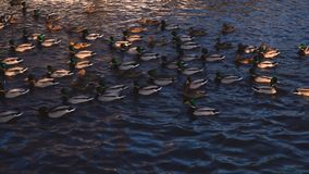 Vele wilde eenden drijven in een vijver bij zonsondergang Het mooie aardwild 4k stock video