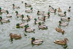 Vele wilde eenden zwemmen in het de wintermeer Een troep van eenden in het water Een menigte van eenden die op wate drijven royalty-vrije stock fotografie