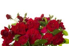 Vele wilde rozen Stock Afbeeldingen