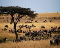 Vele Wildebeest Stock Afbeeldingen