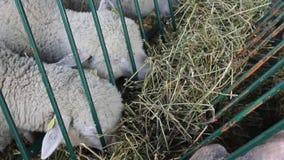 Vele witte schapen eten hooi stock footage