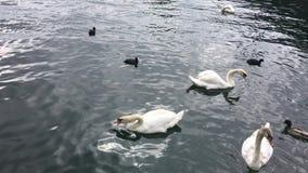 Vele witte zwanen en eenden zwemmen in de stad stock videobeelden