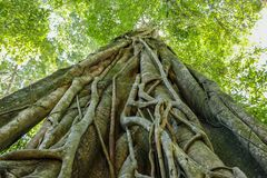 Vele wortels van grote boom in het bos royalty-vrije stock afbeelding