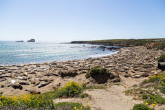 Vele Zeeleeuwen die op Strand slapen royalty-vrije stock foto's