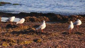 Vele zeemeeuwen bevinden zich op het strand en borstelen hun veren met hun bekken stock videobeelden