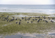 Vele zeemeeuwen bij kust Stock Fotografie