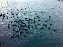 Vele zwanen in het meer een troep van zwanen die over voedsel op een rivier door elkaar gooien In de de Zwaanouders van meerzwane stock foto's