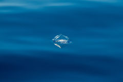 Velella jellyfish on deep blue sea back Stock Image