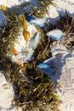 Velella-velella and Seaweeds Stock Photography