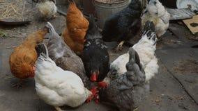 Velen die kippen eten stock video
