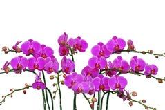 Velen doorboren orchidee op wit royalty-vrije stock foto