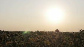 Velen droog zonnebloemengebied stock video