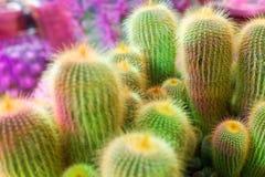 Velen groene cactus op heldere violette achtergrond, cactussen vertroebelden achtergrond dichte omhooggaande hoogste meningsmacro stock foto