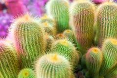 Velen groene cactus op heldere violette achtergrond, cactussen vertroebelden achtergrond dichte omhooggaande hoogste meningsmacro royalty-vrije stock foto's