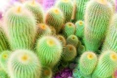 Velen groene cactus op heldere violette achtergrond, cactussen vertroebelden achtergrond dichte omhooggaande hoogste meningsmacro stock fotografie