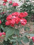 Velen heldere rode flowersin het park van Pingdingshan royalty-vrije stock afbeelding