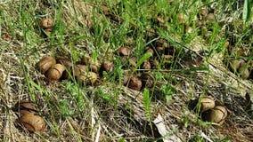 Velen klein rond bruin uitwerpsel van een onbekend dier Lig op het gras in het bosgras die in de wind slingeren stock videobeelden