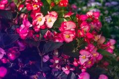 Velen mooie begoniabloemen sluiten omhoog Roze kleuren royalty-vrije stock foto