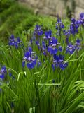 Velen Siberische Irised in een Tuin stock afbeeldingen