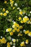 Velen weinig gele bloem Stock Afbeeldingen