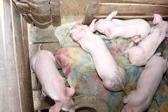 Velen wit varken op een landbouwbedrijf Royalty-vrije Stock Foto