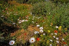 Velen Witte, Oranje en Gele Daisy Wildflowers stock afbeeldingen