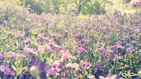 Velenje. Beautiful purple flowers Royalty Free Stock Photo