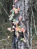 Veleno Ivy Red Leaves di tre Immagine Stock Libera da Diritti