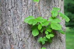Veleno Ivy Vine Fotografie Stock Libere da Diritti
