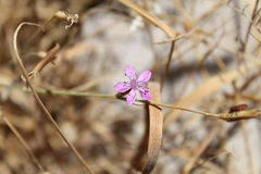 Velezia Rigida blomma, Libanon Arkivfoton