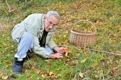 velho cogumelo vital de Milkcap do açafrão da colheita do homem Foto de Stock