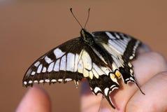 Velho Mundo Swallowtail Foto de Stock Royalty Free