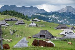 Velika planina. Grazing cows on the background of Alpine mountains. Alpine pastures in Slovenia in summer. Cows graze and relax in the mountain pastoral royalty free stock photo