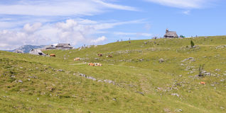 Velika planina plateau, Slovenia, Mountain village in Alps, wooden houses in traditional style, popular hiking. Destination, cattle cows grasing Royalty Free Stock Photography