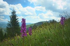 Velka Fatra - national park in Slovakia, western marsh orchid Royalty Free Stock Images