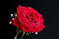Velluto, rosa rossa con il respiro del bambino Immagini Stock