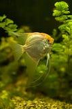 Velo Angel Fish dell'oro Fotografia Stock