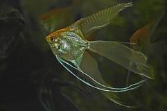 Velo Angel Fish dell'oro Fotografia Stock Libera da Diritti
