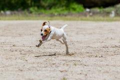 Velocidad de Jack Russell Terrier Running With Full fotos de archivo