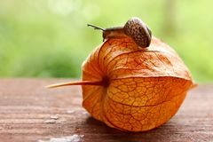 Velocidad del caracol que da un paseo Imagen de archivo