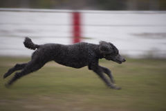 Velocidade máxima running do cão de caniche padrão Fotografia de Stock Royalty Free