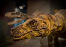 Velociraptor. Close up Velociraptor head with a skeleton in the background Royalty Free Stock Images